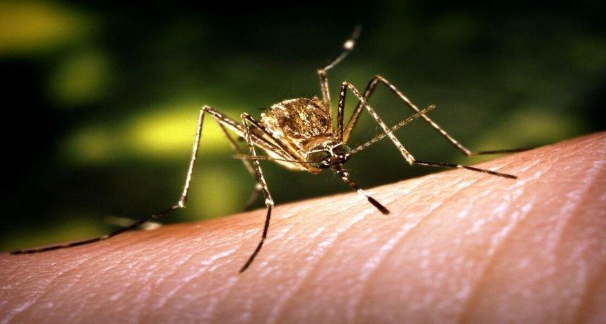 Комары способны защитить человечество от коронавируса